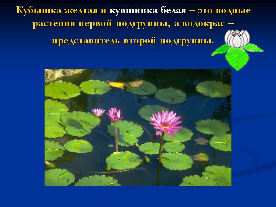 Чаще всего кувшинку можно встретить в Сибири