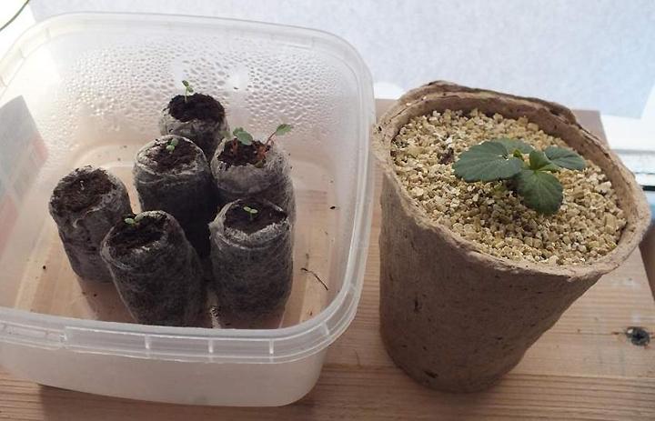 Выбор почвы для выращивания земляники из семян