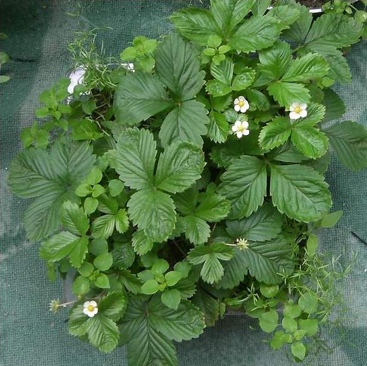 Правильное выращивание садовой земляники из семян