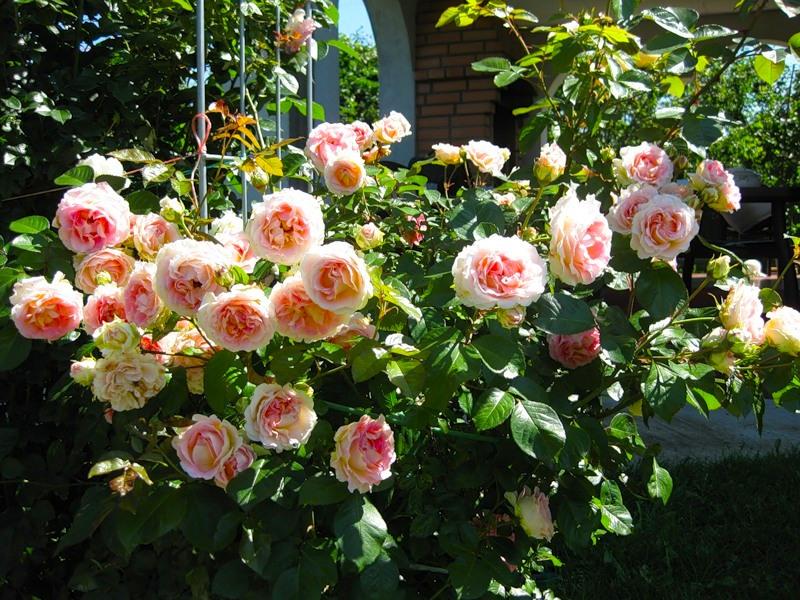 Выращивание плетистых роз