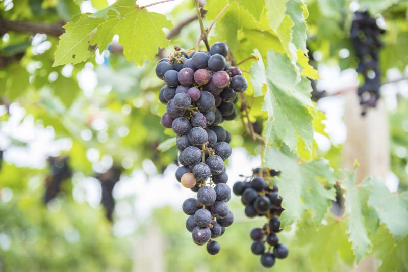 Зимостойкий виноград