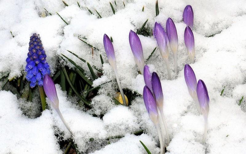 Переживание многолетников зимы