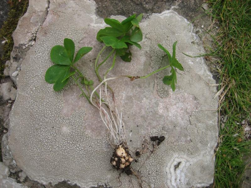 Кислица с корнем и клубнями
