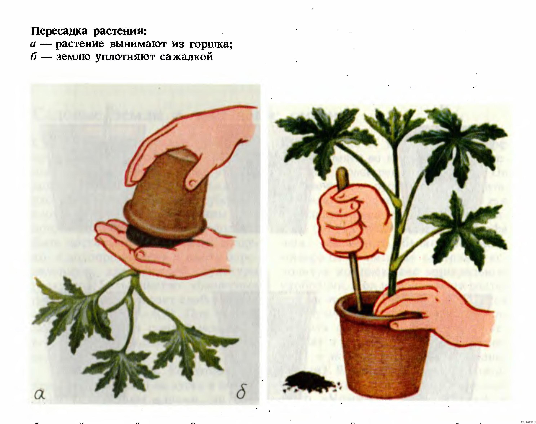 Правила пересадки в горшки