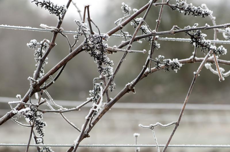 Кусты неукрывного винограда зимой