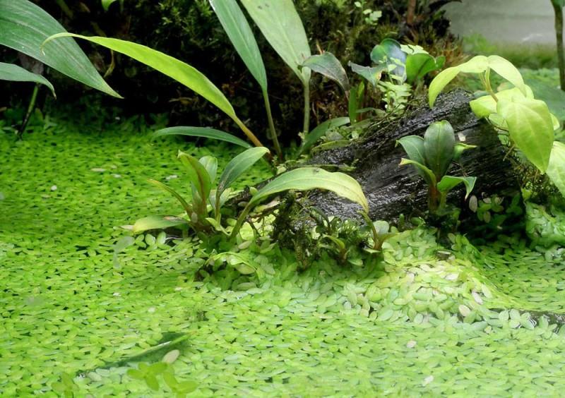 Ряска в аквариуме
