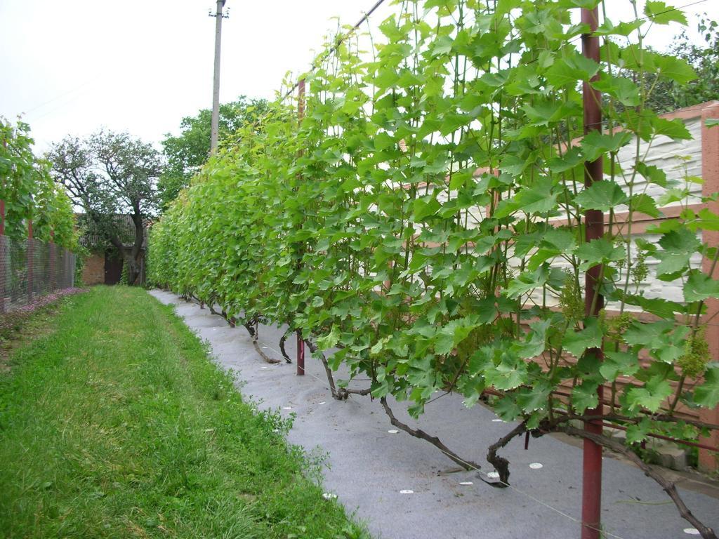 Шпалер для винограда