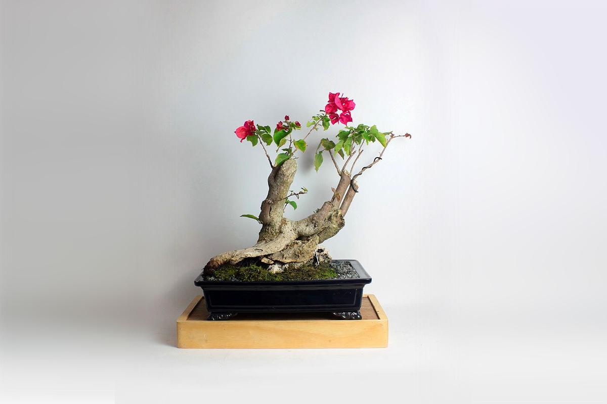 товар недели дерево бонсай4