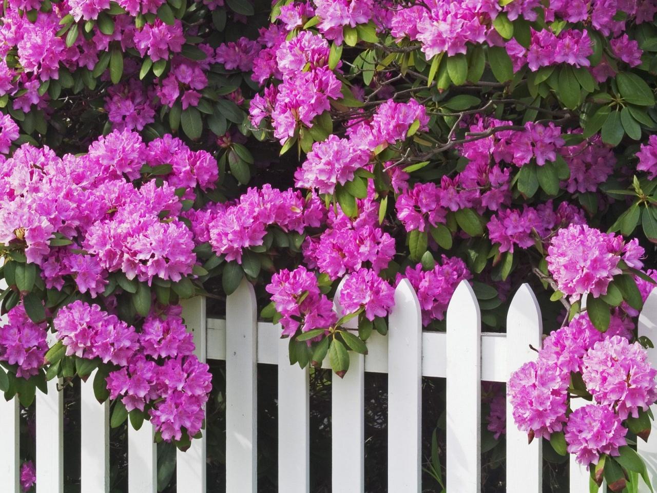 Родендрон цветение