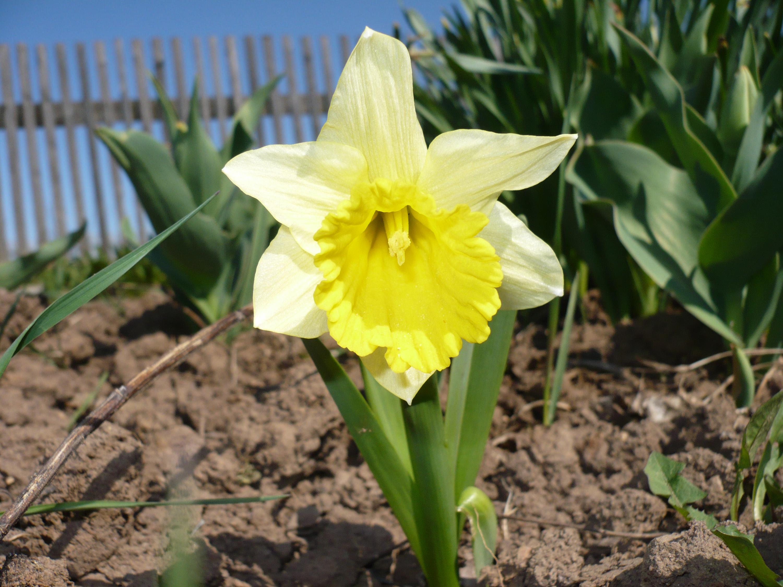 Нарцисс на фото